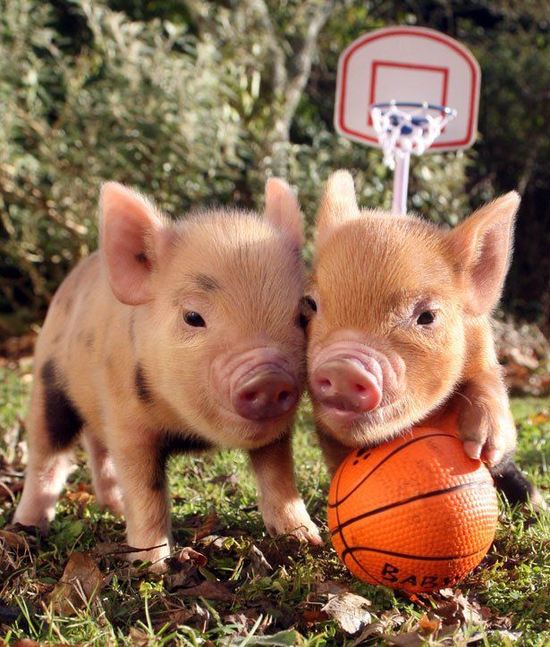 Two Cute Little Baby Piggy Wiggies playing Football