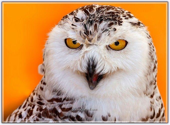 Kar Baykuşu | Özellikleri | Yaşam Alanları - Forum Gerçek