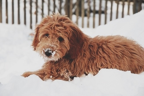Golden doodle playing in the snow :)