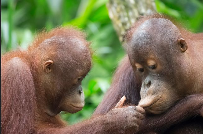 Two Baby Orang Oetan's - funny