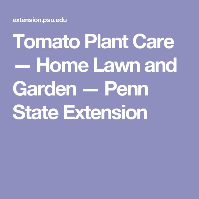 Tomato Plant Care — Home Lawn and Garden — Penn State Extension