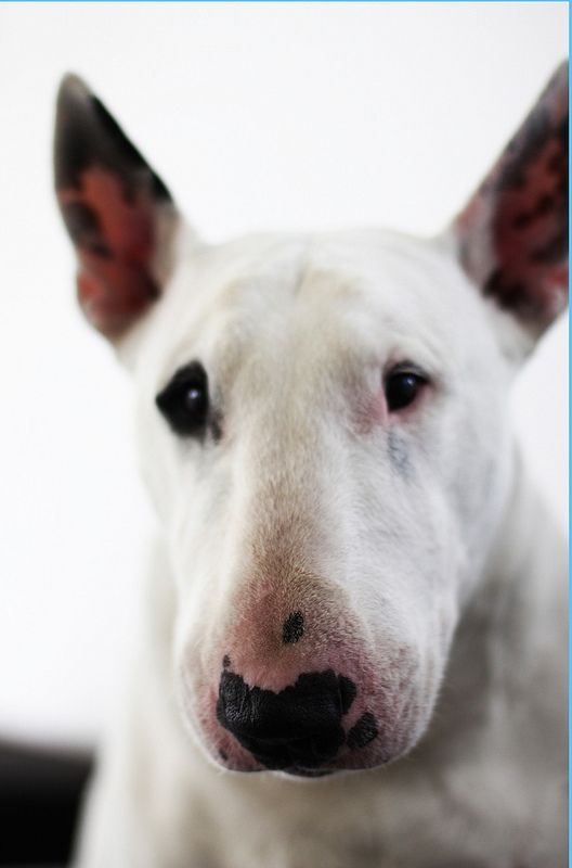 "I have such a soft spot for bull terriers.  Ever since reading Dodie Smith's ""I Capture the Castle"", with the Mortmain's dog Heloise"