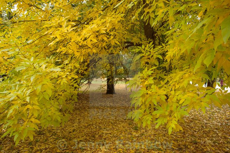 """""""Yellow Ash tree in the park at autumn time"""" by Jenny Rainbow - £10"""