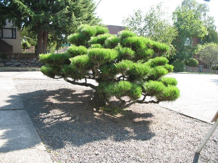 japanese black pine thunderhead - Google Search