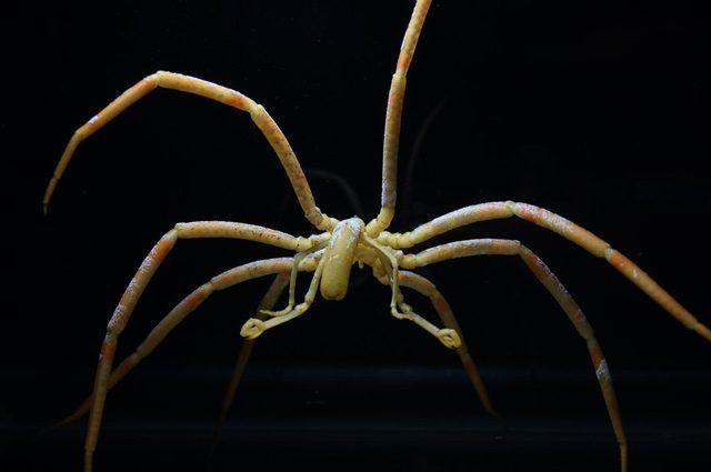 Attraverso analisi microscopiche condotte su dodici specie antartiche di ragno di mare, i ricercatori hanno scoperto che questi invertebrati utilizzano vigorosi movimenti persistaltici dell'intestino per pompare sangue e ossigeno attraverso l'intero organismo.
