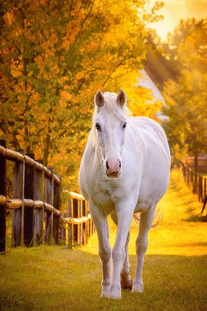 Pretty white horse walking down golden sunset path. Oh so beautiful!