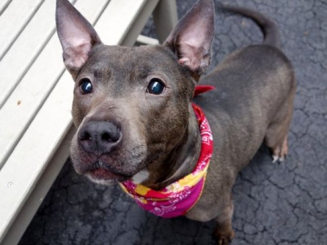 "I AM SAFE THANK YOU TASHA.      SUPER URGENT TASHA - A1067525 A1067525 TO BE DESTROYED STARTING 12NOON 3 17  PLEASE SAVE ME I ONLY HAVE A FEW MORE HOURS BEFORE I GO TO DOGGY HEAVEN THANK YOU  TO BE DESTROYED 03/17/16 A volunteer writes: The Urban Dictionary defines 'Tasha' as ""looking good, very stunning, always glowing, a Tasha is a beautiful creation"". Wow, could they be any more accurate?! She's an absolute tail wagging delight, a little peanut in a gorgeous coat of tans, bronzes, browns…"