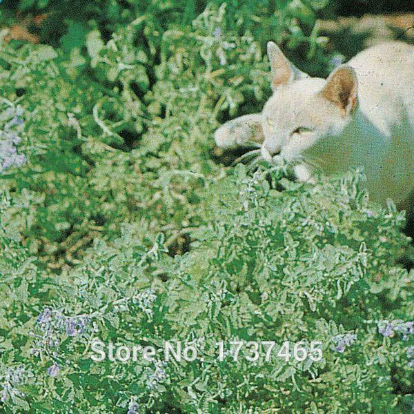 Real 200pcs/lot Nepeta cataria, Catmint, Catnip Hardy