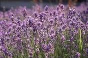 growing lavender plant, gardening lavender, lavender plant care