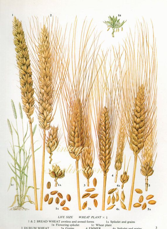 Vintage Botanical Print Antique WHEAT grains 3, plant ... Rice Plant Logo Vector
