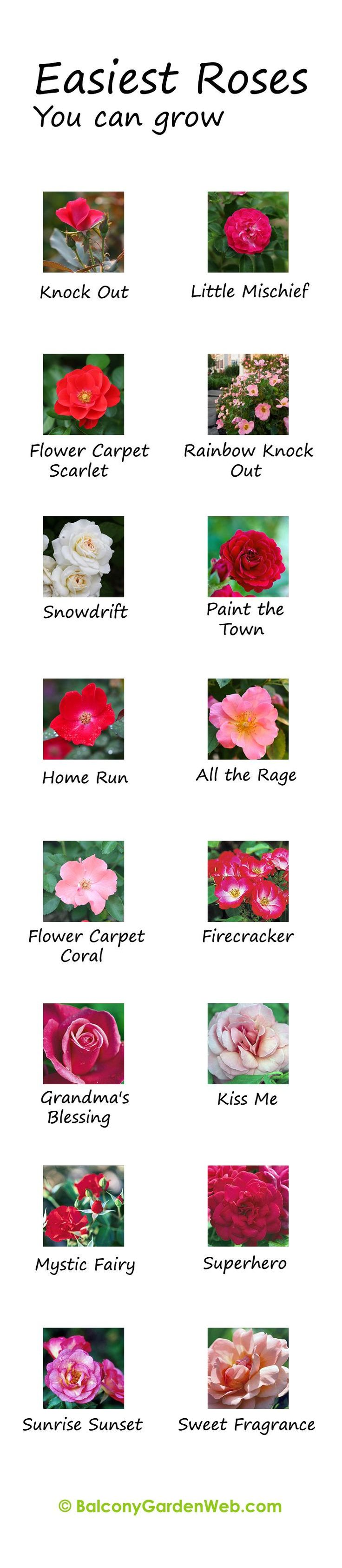 What are the easiest rose varieties? You might have known but the chart given here can be useful for you.