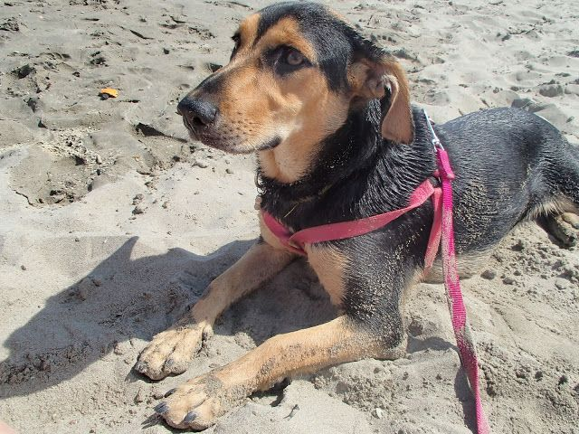 My dog Penny on the beach - archiLAURA Home Design: Vacanze a Comacchio finite...   Holidays in Comacchio finished...