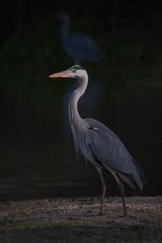 Garça-real (Ardea cinerea) Grey heron