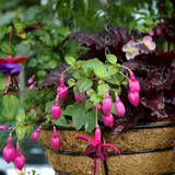 Really helpful article about  the best plants for hanging baskets.
