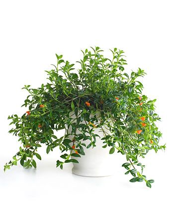 Houseplants safe for cats: goldfish plant - just so it's more alive