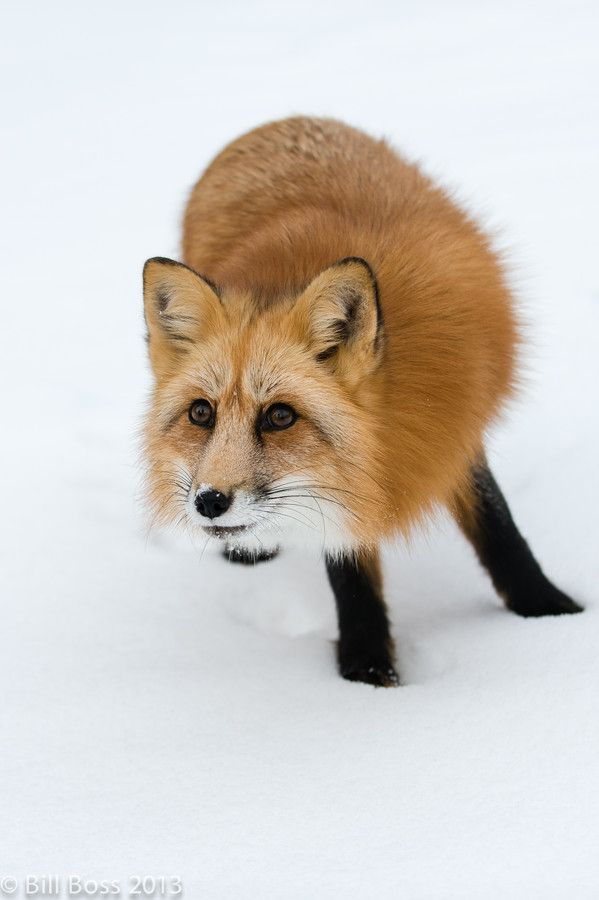 Red Fox by Bill Boss on 500px (with her black sox on!)