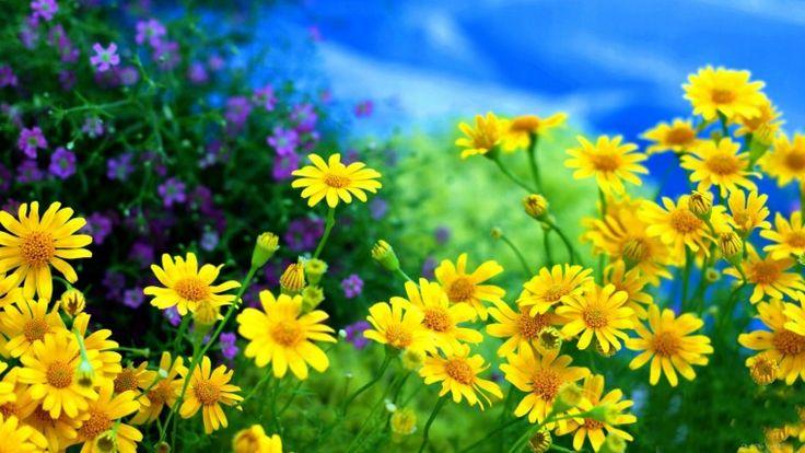 Желтые цветы - Обои для рабочего стола, картинки, фоны, заставки