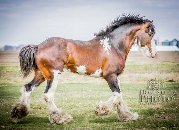 paint clydesdale - photo #27