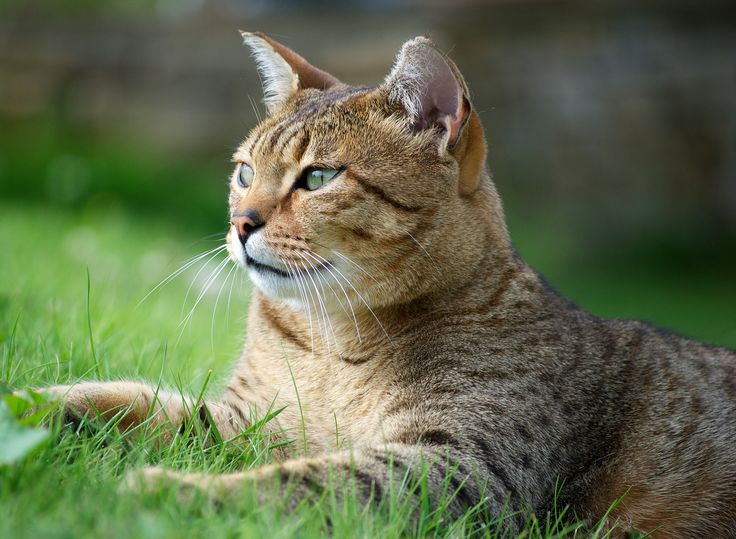 Bronze Egyptian Mau Cat | Lisa Beattie