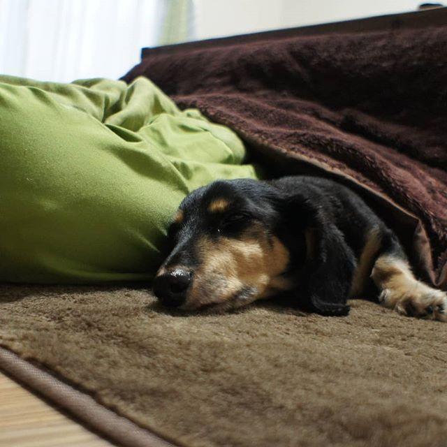 ホットカーペットの上に、コタツ机を置いています。  どこに居ても温かくて、とろけてます。私もとろけよっと!  #犬 #愛犬 #ミニチュアダックスフンド #ブラッククリーム #無印良品 #ビーズクッション #こたつ =ぬくぬく #出られない  #dog #dogstagram #loverydog #sausagedog #dogphotography #minituredachshund #justdachshunds #total_dogs #dachshundlife #dachshundlover #picsofdogmodels #k_9features #la_dog #superdog_world #pk_dogs #fever_pets #7pets_1day