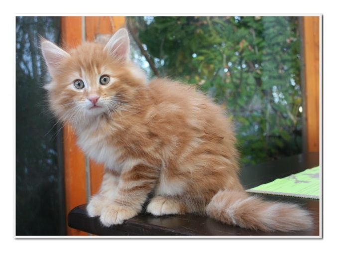31 best images about Fiery Red Norwegian Forest Cat on ...