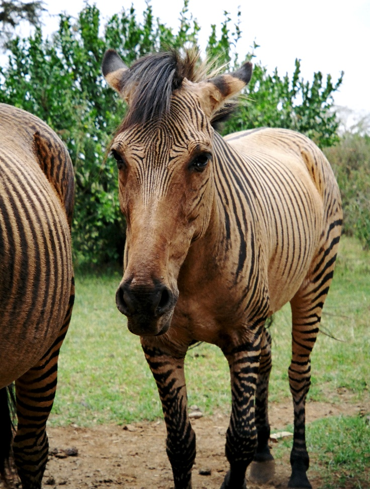 "This is a VERY rare ""Zebroid"".  Bred from a horse and a zebra at Mt. Kenya Safari Club's private zoo... where I took this photo.  Gotta breed some of these at my farm!!"