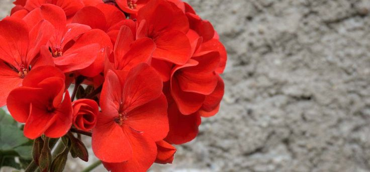 21-Best-Benefits-Of-Geranium-For-Skin,-Hair-And-Health