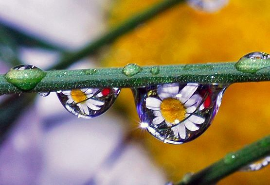 Reflections of daisies