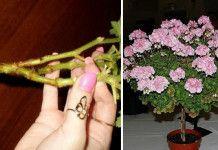 Tyhle triky pro pěstování muškátů prostě musíte znát! Výsledkem jsou svěží, barevné a kvetoucí muškáty!
