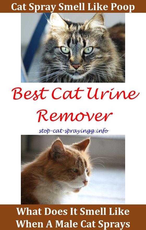 Do Fixed Female Cats Spray   Helpful Hints   Cat pee, Cats