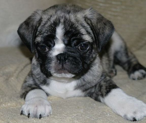 Pug and Boston Terrier Bugg This is a gorgeous Bugg puppy!!