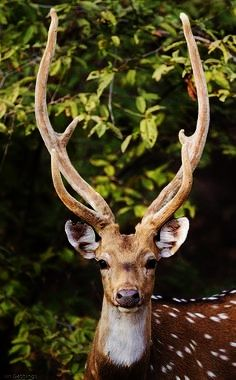Spotted Dear: Is a species of dear also known as a Chital, which is normally found in India, Sri Lanka and parts of Pakistan.