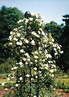 Rosenobelisk im Westfalenpark Dortmund