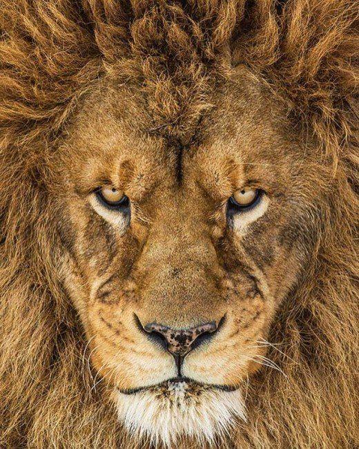百獣の王 ライオン の珍しい正面からの美しい写真です。  運気がアップしそうな気がしませんか?  今日から1週間。 待受画面にしてみます。    #ライオン #アニマルチャンネル #一番好きな動物