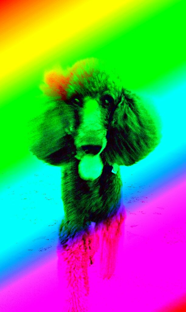 Rainbow Poodle | rainbow-poodle.jpg | Rainbow animals ...