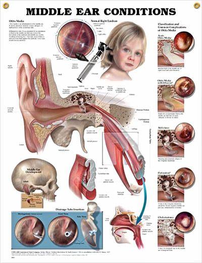 ent anatomy