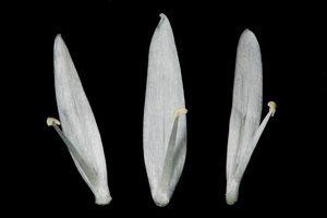 Identification assistée par ordinateur (IAO) :Ail des ours (<I>Allium ursinum</I> L.)