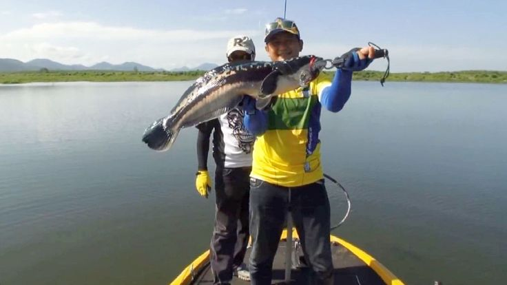 Spinning | Fishing | Boat | Great Snakehead | Thailand #Snakehead #Spinning #Fishing #Thailand #Giant #Catches #Angling  #Fishingboat #Boat #Greatfishing #Spinningfishing #FishingThailand #GiantSnakehead #Channa #mudfish