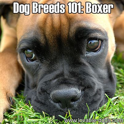 Dog Breeds 101: Boxer ►► http://lovable-dogs.com/dog-breeds-101-boxer/?i=p