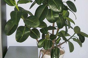Le Ficus (Ficus bennendijki 'Alii' et ficus elastica)