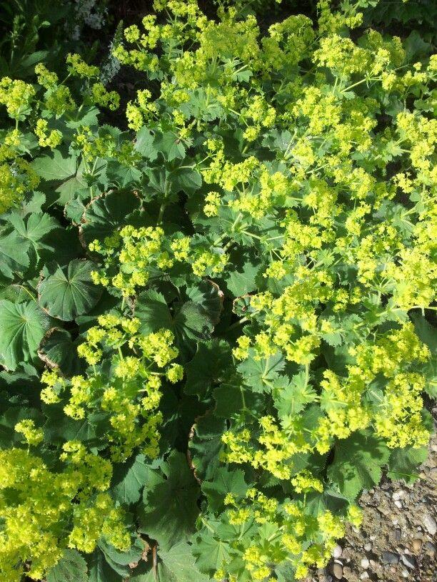 Voor bij vijverterras - alchemilla mollis (vrouwenmantel) - mei/augustus - 1,10 euro