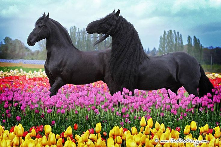 Friesians in the tulips.