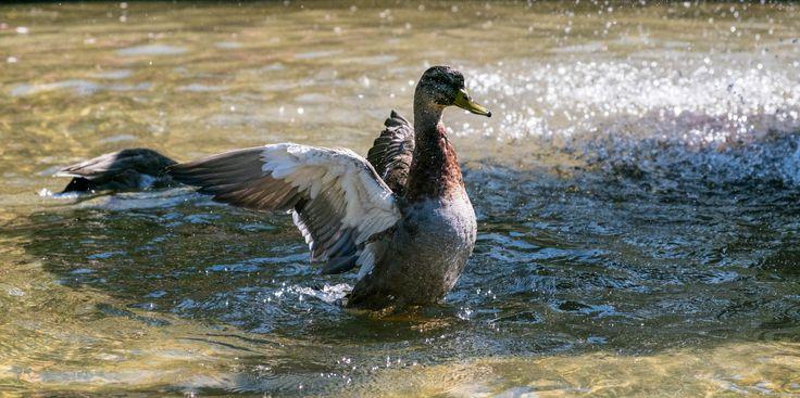 Good Morning World, I'm taking off. #fujifilmxt2 #nature #ducks #water — at Wellington Botanic Garden.