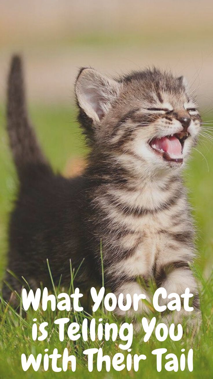 What Your Cat Is Telling You With Their Tail In 2020 Cat Facts Funny Cats Cats And Kittens