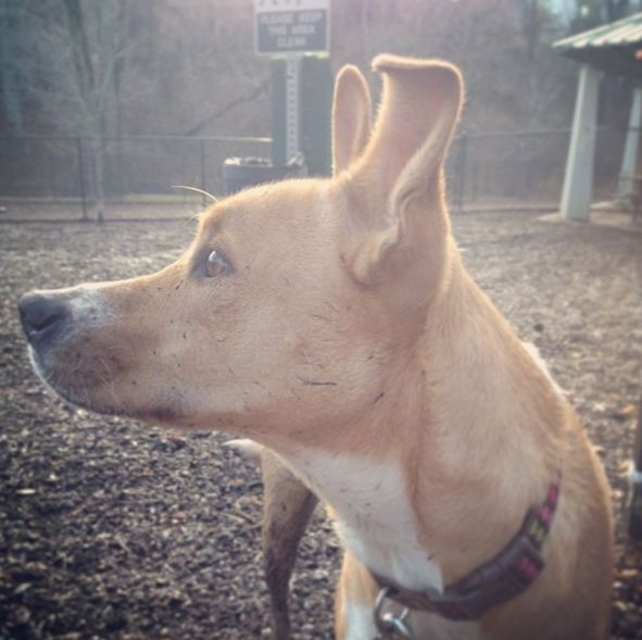 Looking picture perfect at Kent Park Dog Park - Upper Darby, PA - Angus Off-Leash #dogs #puppies #cutedogs #dogparks #angusoffleash