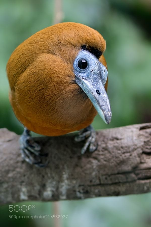Capuchinbird Bronx Zoo Series 2 by CarlMonopoli via http://ift.tt/2qY0TOh