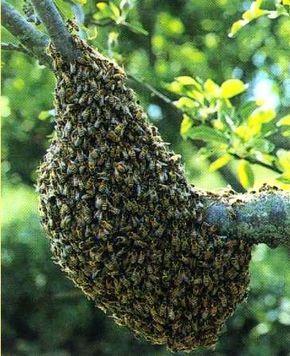 Un essaim d'abeilles est arrivé dans votre jardin et vous ne savez que faire pour vous en débarrasser.