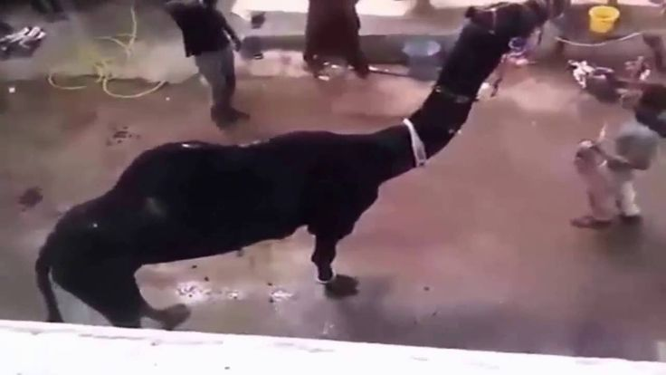 || Black Camel Qurbani || 2016 || 2017 || Karachi || Eid ul adha || Bakra eid ||