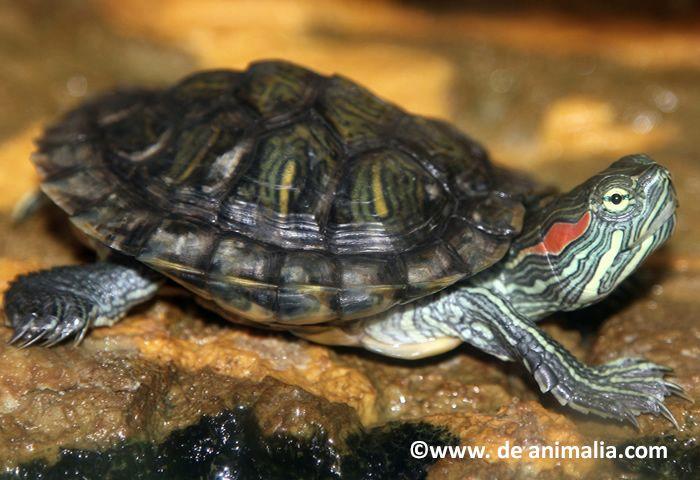 La tortuga de orejas rojas (Trachemys scripta) es una especie exótica en Chile, originaria de Norte América que compite con peces y anfibios nativos.