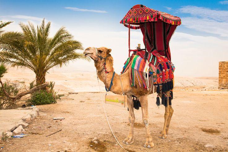 Hewan unta telah lama mendukung kehidupan manusia di gurun pasir yang gersang. Setiap saat banyak orang datang beribadah Umroh maupun Haji tiap tahunnya.